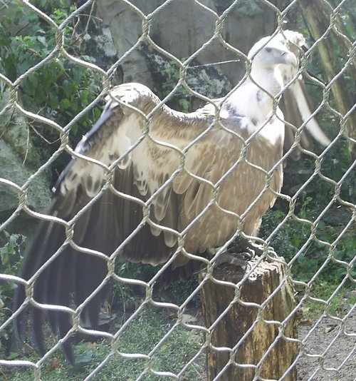 The Eurasian Griffon Vulture spreads its wings and poses for the admiring spectators