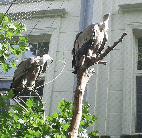 Another couple of Eurasian Griffon Vultures enjoy the brief spell of sunshine