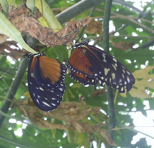 A couple of Monarch flutterbys doing the wild thing
