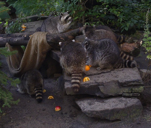 Yippee ... we arrive just in time to see the raccoons get their fruit ration!